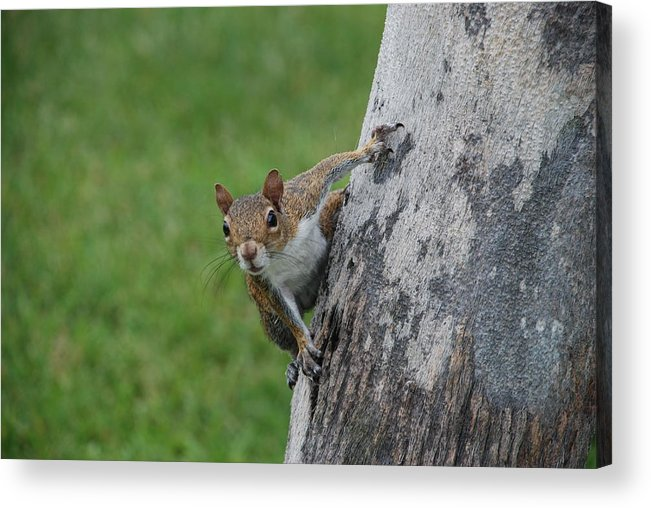 Squirrel Acrylic Print featuring the photograph Hanging On by Rob Hans