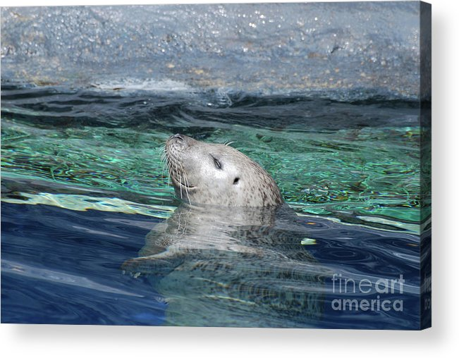 Seal Acrylic Print featuring the photograph Harbor Seal Poking His Head Out Of The Water by DejaVu Designs