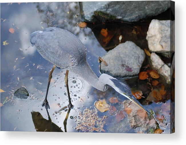 Heron Blue Fishing Acrylic Print featuring the photograph Heron Fishing Photograph by Don Wright
