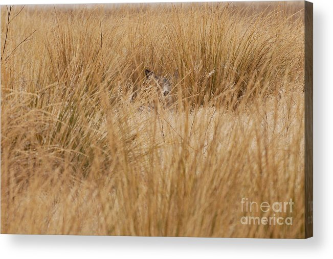 Deer Acrylic Print featuring the photograph Hidden Mule Deer by Dennis Hammer
