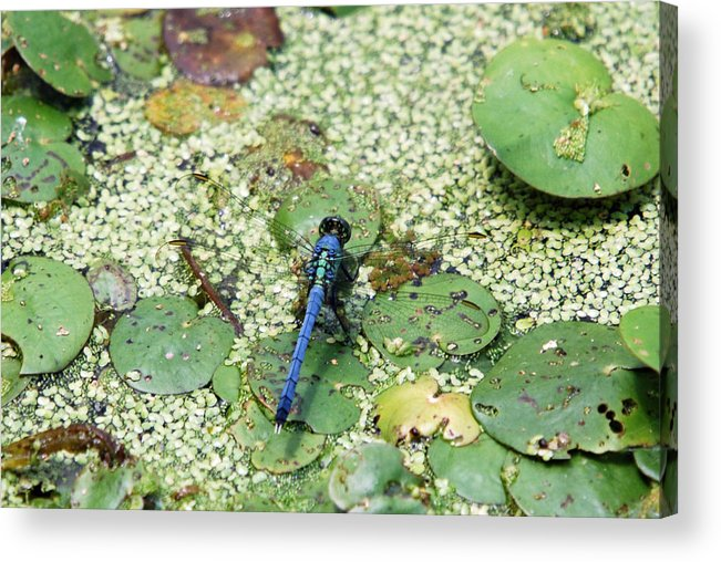 Teresa Blanton Acrylic Print featuring the photograph Hiding Dragonfly by Teresa Blanton