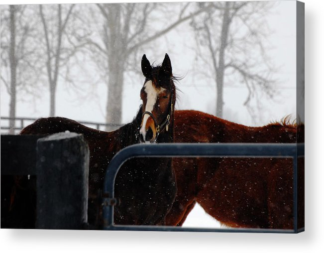 Snow Acrylic Print featuring the photograph Horse In A Snowstorm by Steven Crown