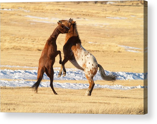 Horses Acrylic Print featuring the photograph Horseplay by Lauren Munger