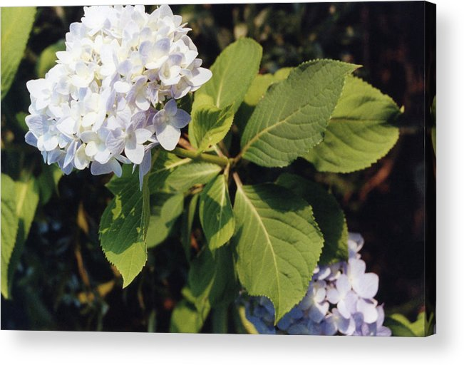 Floral Acrylic Print featuring the photograph Hydrangea by Jan Amiss Photography
