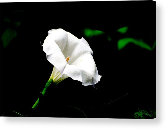 Floral Acrylic Print featuring the photograph Judy's White Knight by M Ryan