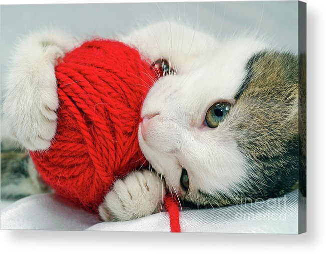 Innocence Acrylic Print featuring the photograph Kitten Playing With Red Ball Of Yarn by Sami Sarkis