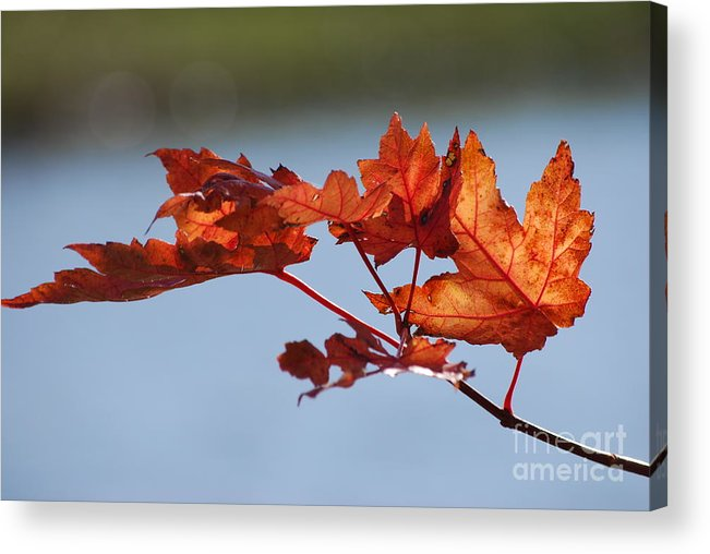 Leaves Acrylic Print featuring the photograph Last Of The Leaves by Joy Bradley