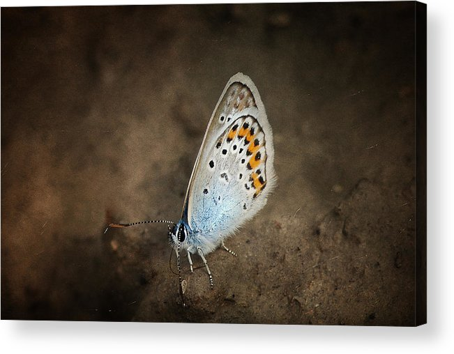 Butterfly Acrylic Print featuring the photograph Little Wing by Endre Fulop
