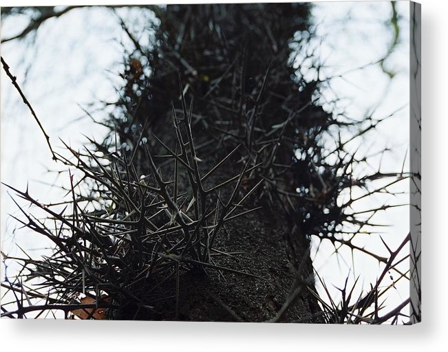 Needle Acrylic Print featuring the photograph Locust Spines by Jennifer Trone