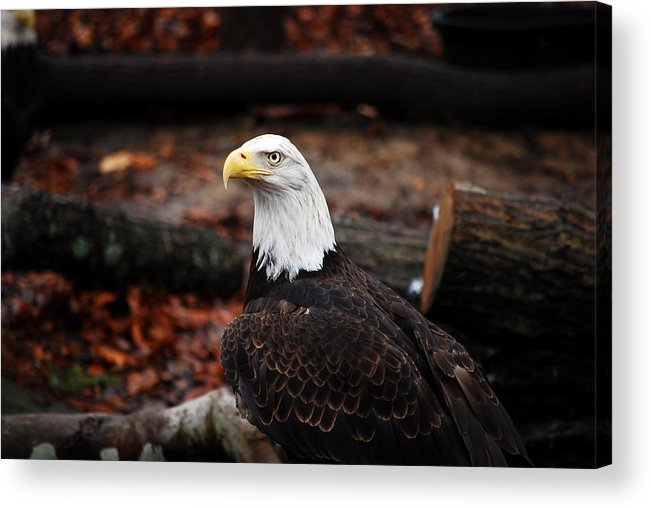 Bald Eagle Acrylic Print featuring the photograph Majestic by John Warren