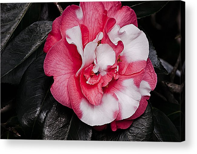 Red Acrylic Print featuring the photograph Marble Camellia by Emerald Studio Photography