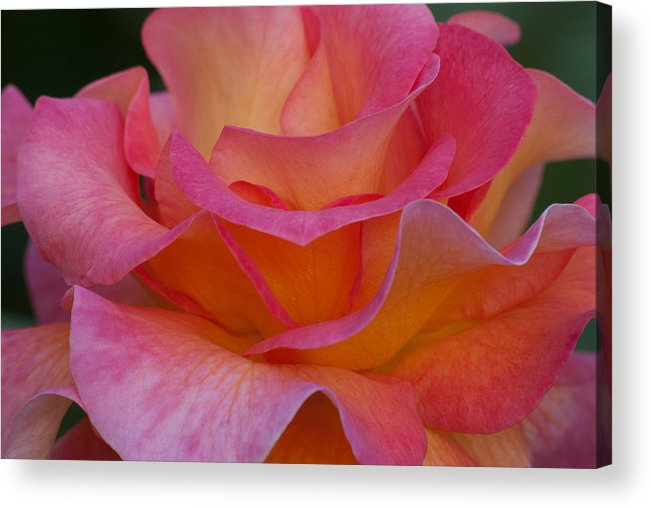 Floral Acrylic Print featuring the photograph Mardi Gras Rose Macro by Emerald Studio Photography