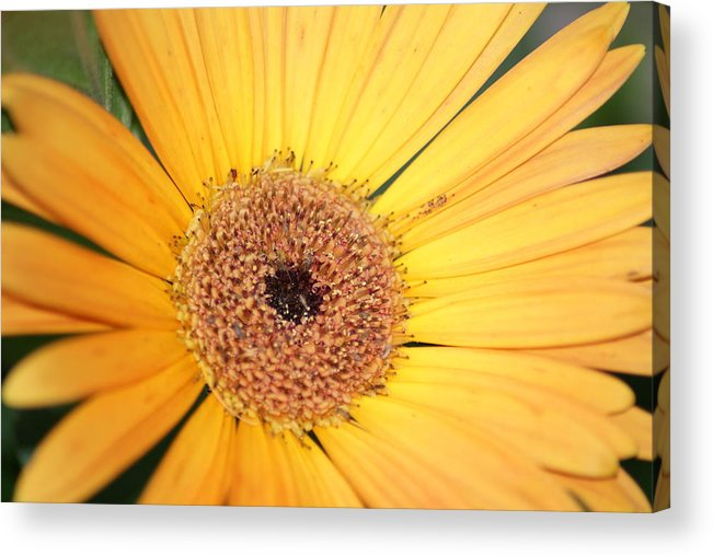 Yellow Flower Acrylic Print featuring the photograph Mellow Yellow by Ron Read