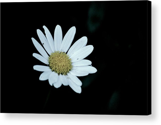 Flower Acrylic Print featuring the photograph Miss Daisy by Trudi Southerland