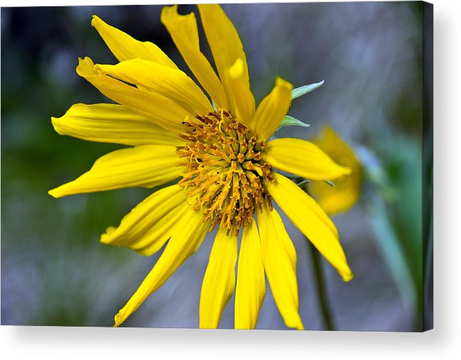 Acrylic Print featuring the photograph Mountain Flower by JK Photography
