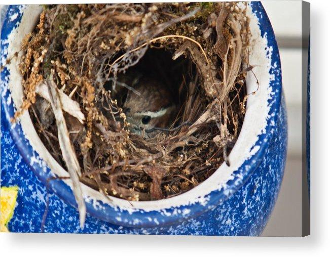 Nesting Acrylic Print featuring the photograph Nesting Wren by Douglas Barnett