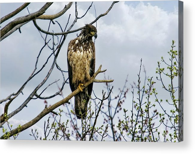 Eagle Acrylic Print featuring the photograph On The Lookout by Gary Smith