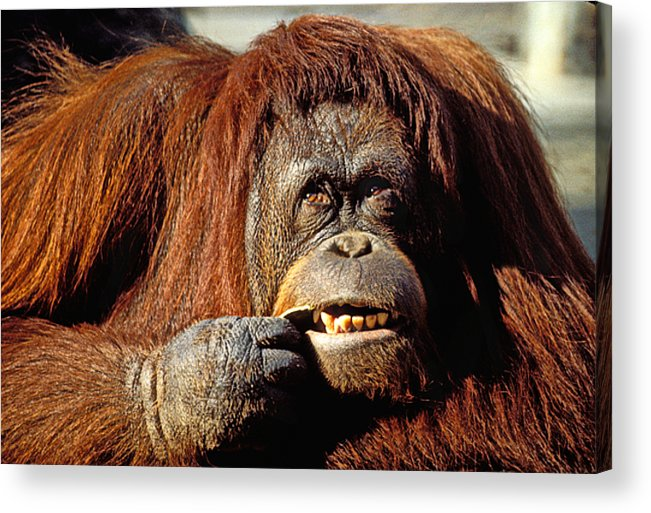 Animal Acrylic Print featuring the photograph Orangutan by Garry Gay