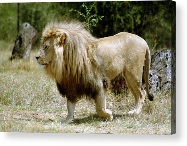 Lion Acrylic Print featuring the photograph Papa Lion On The Prowl by Charles Ridgway