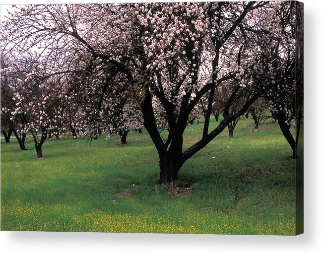Orchards Acrylic Print featuring the photograph Paso Robles Orchard by Kathy Yates
