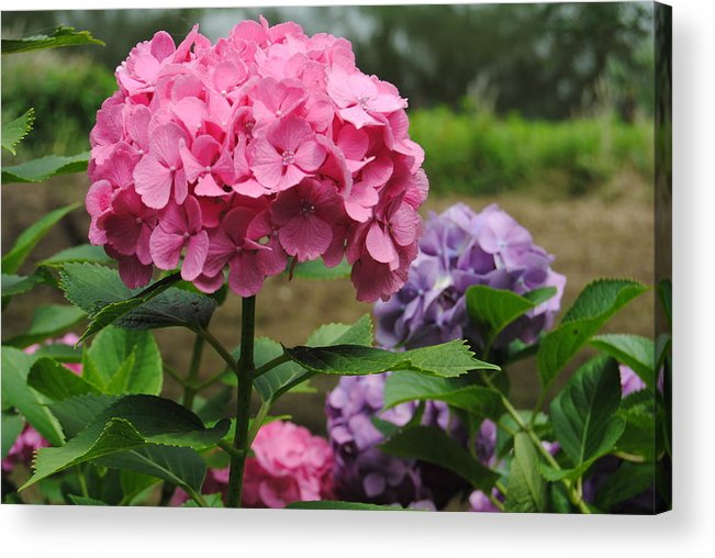 Hydrangea Photography Acrylic Print featuring the photograph Pink And Purple by Kathleen Sartoris