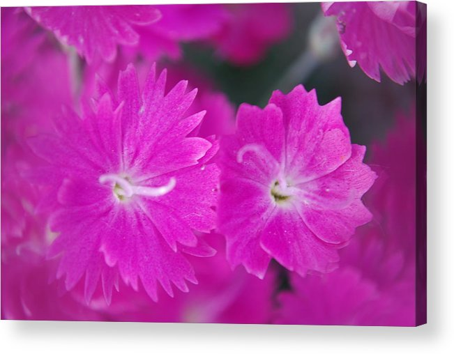 Flowers Acrylic Print featuring the photograph Pink Flower Closeup by Lisa Gabrius