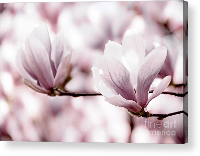 Magnolia Acrylic Print featuring the photograph Pink Magnolia by Elena Elisseeva