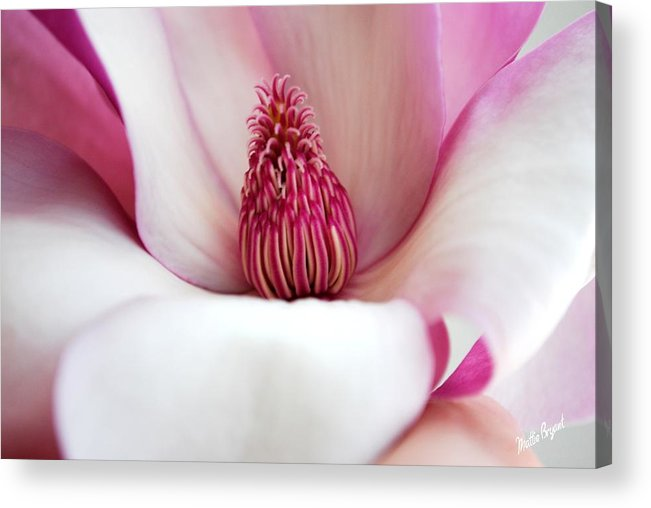 Pink Acrylic Print featuring the photograph Pink Magnolia by Mattie Bryant