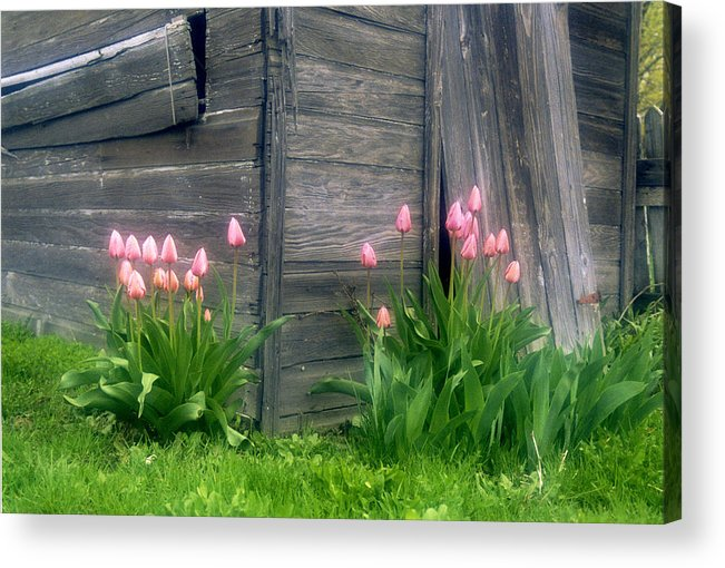 Garden Acrylic Print featuring the photograph Pink Tulips And Weathered Shed by Roger Soule