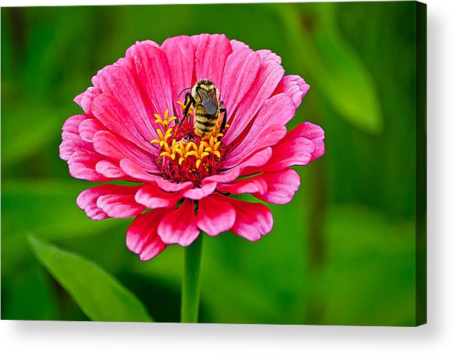Bee Acrylic Print featuring the photograph Pink Zinnia Bee by Emerald Studio Photography