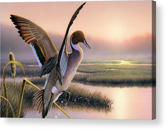 Pintail Duck Painting Original Wi Waterfowl Contest Marsh Hunting Stamp Sunrise Pink Bird Cattail Acrylic Print featuring the painting Pintail Duck-3rd Place Wi by Daniel Pierce
