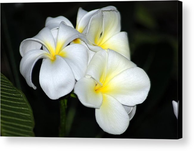 Acrylic Print featuring the photograph Plumeria by JK Photography