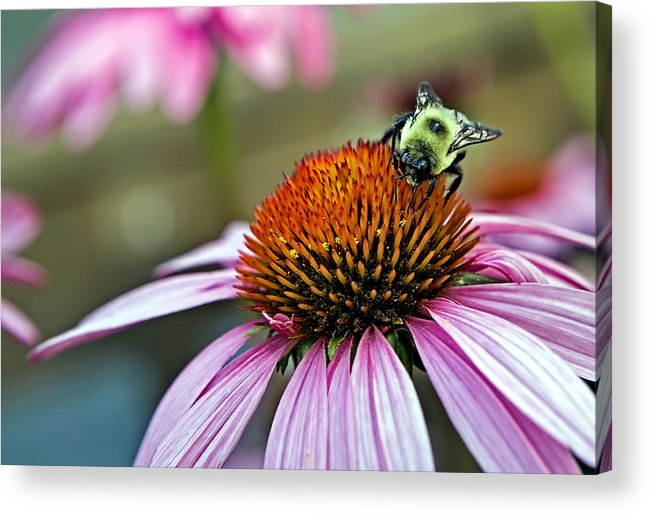 Macro Acrylic Print featuring the photograph Purple Cone Flower And Bee by Al Mueller