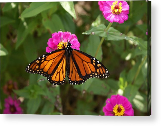 Butterfly Acrylic Print featuring the painting Resting by Debbie May