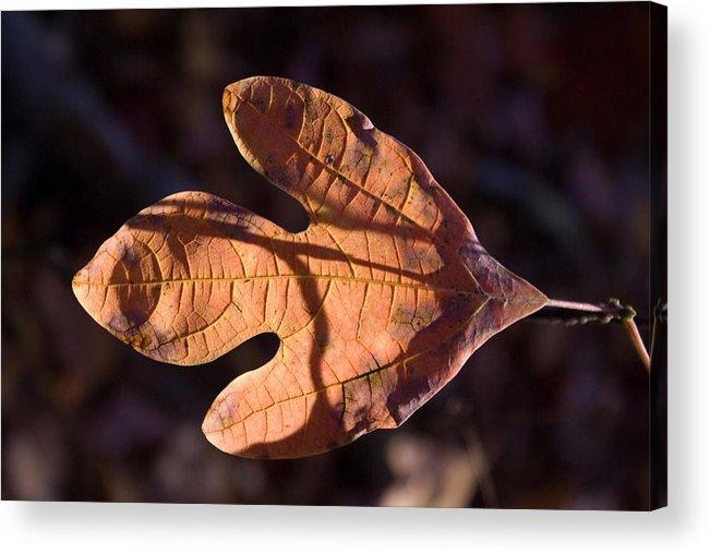 Sassafras Acrylic Print featuring the photograph Sassafras Leaf In Evening Sun by Douglas Barnett