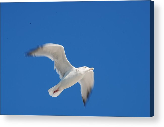 Bird Acrylic Print featuring the photograph Smooth by Renee Holder