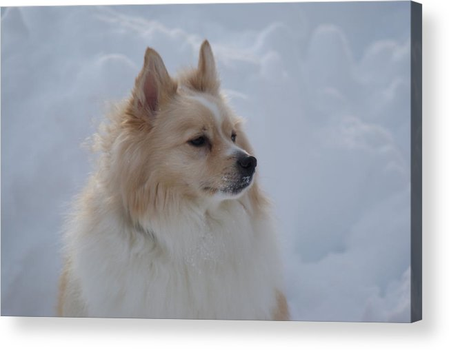 Snow Acrylic Print featuring the photograph Snow Dog by Heather Green