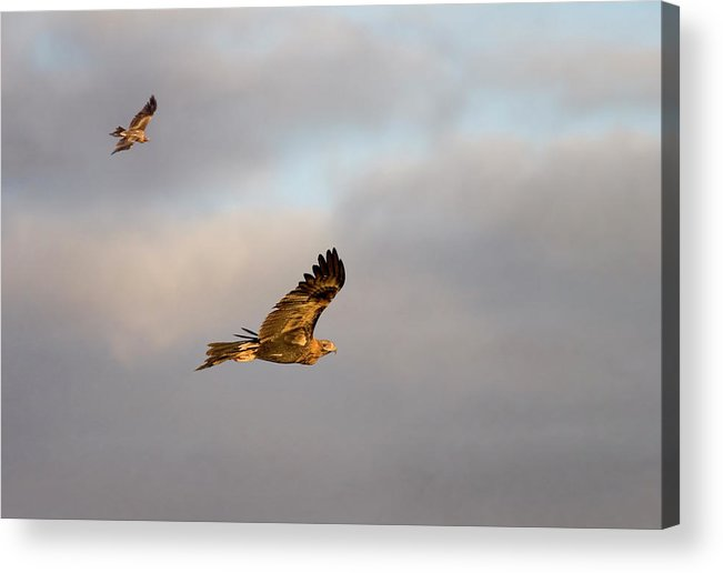 Eagle Acrylic Print featuring the photograph Soaring Pair by Mike Dawson