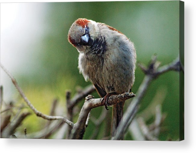 Humor Acrylic Print featuring the photograph Sparrow Puzzled At What It Sees by Steve Somerville