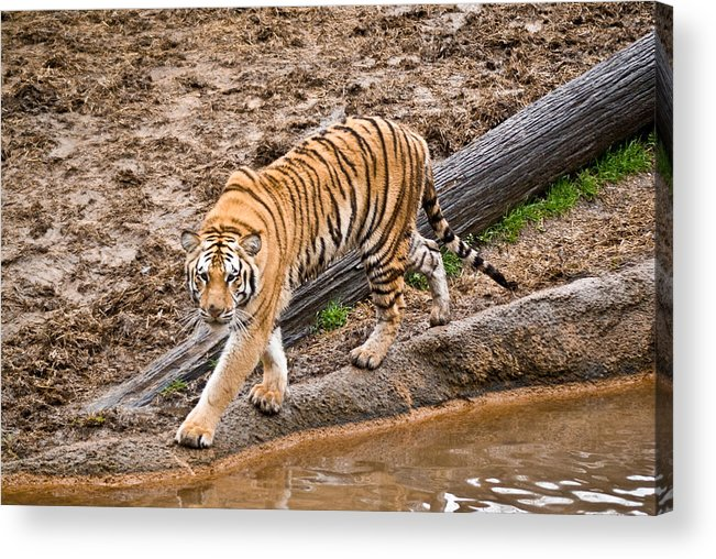 Tiger Acrylic Print featuring the photograph Stalking Tiger - Bengal by Douglas Barnett