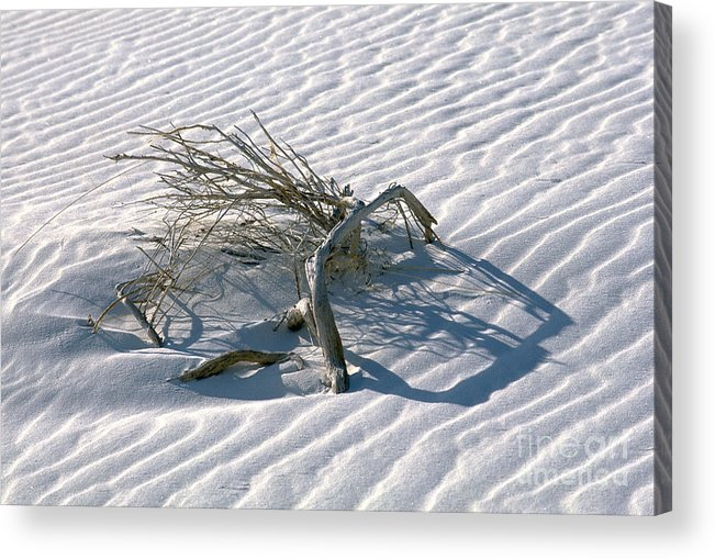 White Sands Acrylic Print featuring the photograph Struggle To Survive by Sandra Bronstein