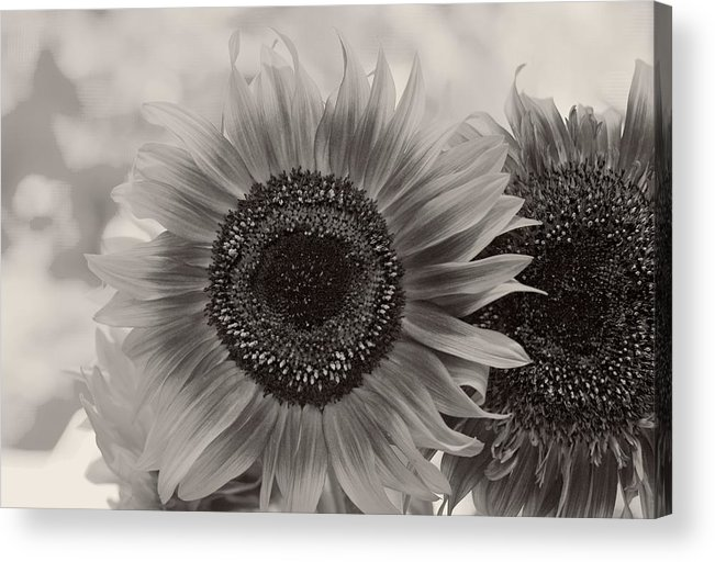 Lowers Acrylic Print featuring the photograph Sunflower 6 by Simone Ochrym