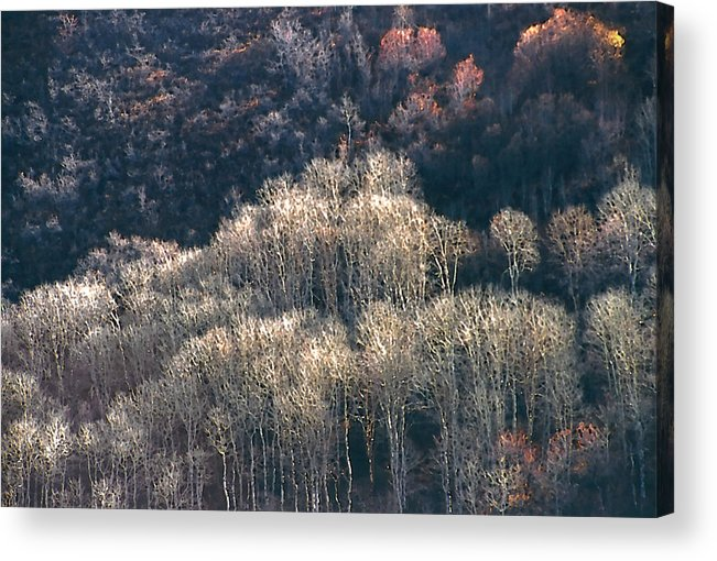 Aspens Acrylic Print featuring the photograph Sunlit Bare Autumn Aspens 1 by Steve Ohlsen