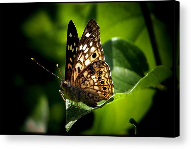 Butterfly Acrylic Print featuring the photograph Sunlit Butterfly by Karen Scovill