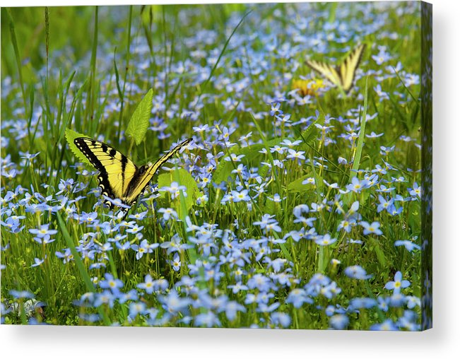 Swallowtail Butterfly Acrylic Print featuring the photograph Swallowtail Butterfly by Robert Stein