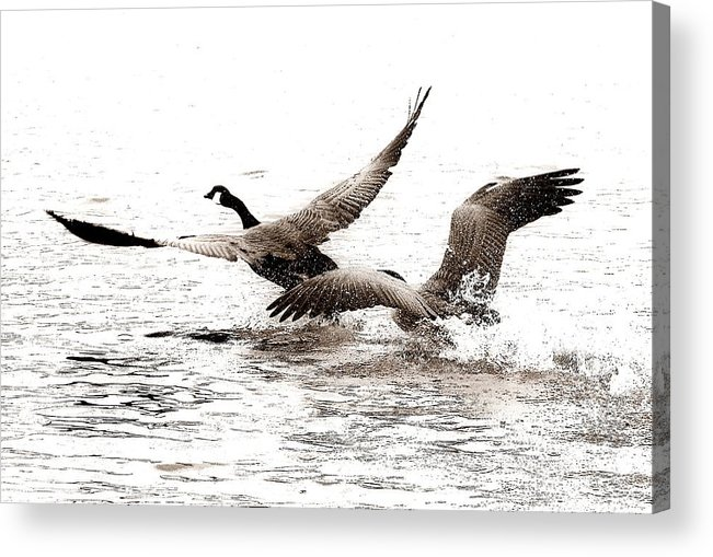 Birds Acrylic Print featuring the photograph The Chase by Angie Tirado