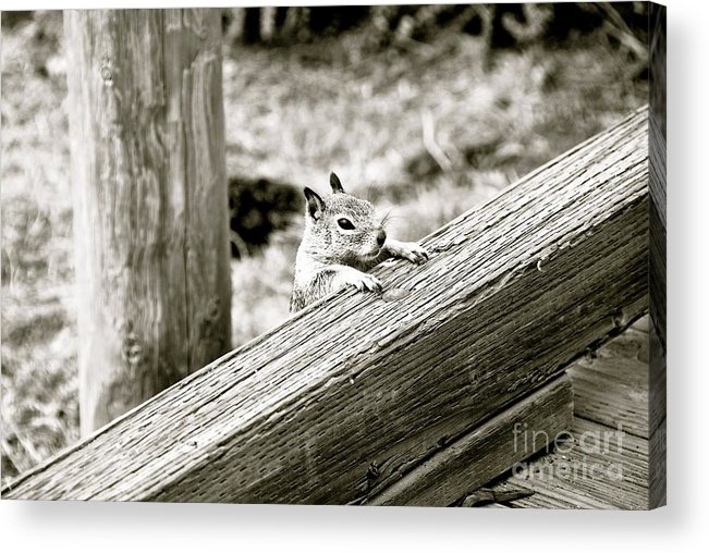 Squirrel Acrylic Print featuring the photograph The Curious Squirrel by Lori Leigh