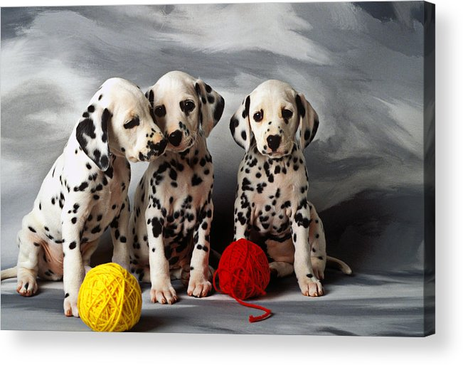 Dalmatian Puppies Three Puppy Dalmatians Pet Pets Animal Animals Dog Dogs Doggy Sit Sits Sitting Young Pedigree Canine Domestic Domesticated Purebred Purebreed Breed Gray Background Vertical Color Colour Colors Canines Calm Cute Hound Hounds Innocence Spot Spots Companionship Together Togetherness Acrylic Print featuring the photograph Three Dalmatian Puppies by Garry Gay
