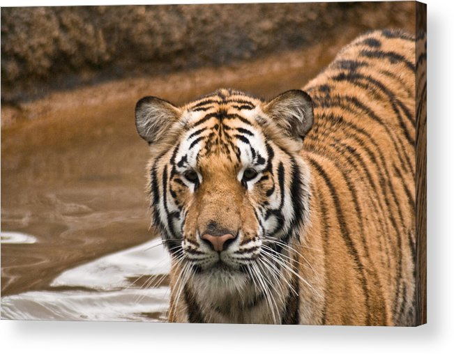 Tiger Acrylic Print featuring the photograph Tiger Wading Stream by Douglas Barnett