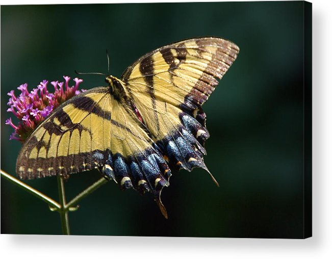 Tiger Swallowtail Acrylic Print featuring the photograph Tigress And Verbena by Byron Varvarigos